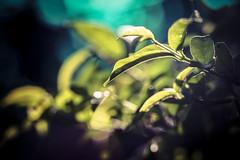 Bit of blue (thienngan.tranthi.designer) Tags: nature love macro macrounlimited closeup green beauty beautiful shot sony vivitar wonderful tea leaves hill forest light sunlight