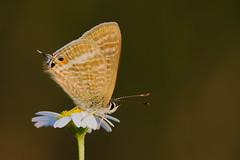 Lampides boeticus (2) (JoseDelgar) Tags: insecto mariposa lampidesboeticus 425866368732977 josedelgar naturethroughthelens