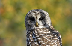 Barred Owl (hd.niel) Tags: photography autumn wildlife nature owls barredowl