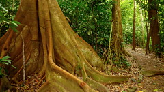What goes Around Grows Around (Eye of Brice Retailleau) Tags: colourful colours composition earth nature outdoor paysage perspective scenery scenic travel view vista extérieur tree flora trees landscape forest wood forêt arbre bois green wideangle vegetation centralamerica america costarica costa rica natural woods hiking backpacking trail path camino chemin