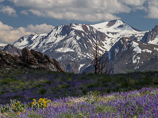 Spring Lupine in the Eastern Sierra
