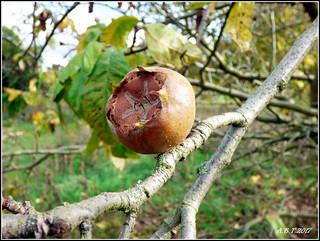 Common Medlar Fruit.  Mespilus germanica