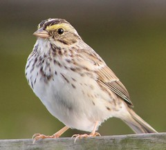 Savannah Sparrow (c) 2017 Julie Zambory All Rights Reserved