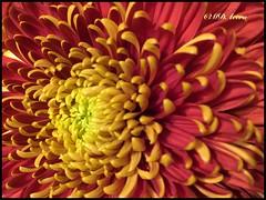 Rojo y gualda (mariadoloresacero) Tags: acero mdacero gaieté joie alegría live life vida passion pasión rouge red rojo jaune yellow amarillo crisantemos fleurs flowers flores