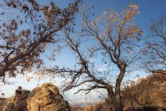 árbol quemado (susodediego ) Tags: árbol quemado incendio grancanaria islascanarias nikond750 afsnikkor1424mmf28ged thegalaxy vividstriking susodediego contactgroups