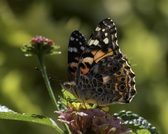 CommonBuckeye_SAF2654-1 (sara97) Tags: junoniacoenia buckeye butterfly commonbuckeye copyright©2017saraannefinke endangered insect missouri outdoors photobysaraannefinke pollinator saintlouis towergrovepark