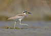 On a Sprint... (Anirban Sinha 80) Tags: nikon d610 fx 500mm f4 ed vrii n g fast action run bird plover bokeh beak natural