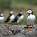 Pied Puffin