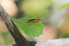 Ichneumon Wasp (Thomas Langhans) Tags: wasp ichneumon hymenoptera