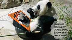 Bei Bei Boo! (MyFoto:)) Tags: pandas cub endangered vulnerable beibei mammals giantpanda ailuropoda melanoleuca smithsonian nationalzoo nature conservationdependent wildlife zoologicalgardens washington dc eating bamboo tub upsidedown halloween