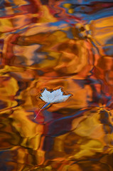 A beautiful ending (James_D_Images) Tags: fall autumn maple leaf fallen pond water ripples floating reflection reflected colours blue red orange yellow vancouver british columbia