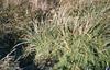 Lomandra longifolia, pteridium esculentum, Tetragonia.  Mutton birds.  Big Dog Island. (Mary Gillham Archive Project) Tags: 108117 australia greatdogisland lomandralongifolia planttree tasmania tetragonia pteridiumesculentum
