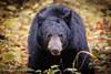 Black Bear (chops411) Tags: bear blackbear wildlife wildlifephotography cadescove canon canon7dmarkii greatsmokymountains greatsmokynationalpark sigma tennessee