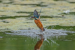 Kingfisher - Fish (and bird) out of water (Ann and Chris) Tags: avian bird water fishing feeding fish close diving gorgeous hunting kingfisher lake nature outdoors prey aqua reflection stunning unusual vogel wildlife wild wings waterbird