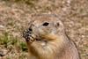 2017 Black-tailed Prairie Dog (DrLensCap) Tags: prairie dog devils tower national monument wyoming wy mammal animal rodent robert kramer blacktailed specanimal coth5 specanimalphotooftheday