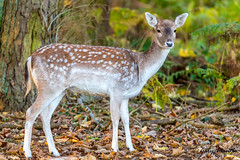 Female Doe (Liquidparadox) Tags: canon 1dx2 doe female deer staring nocrop woods 100400mm