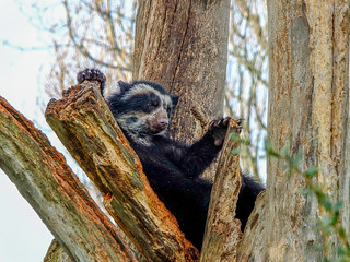 Young Spectacled Bear