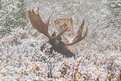 He isn't going to hide with those antlers