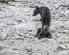 IMG_6555 (Branko.Hlad) Tags: medvedka bears gozd narava živali animals