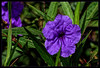 Flowers of Tenerife (scorpion (13)) Tags: blue flower blossom leaves nature autumncolor creativ plant holiday tenerife frame photoart