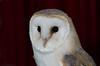 hobbit the barn owl 7/31 (sure2talk) Tags: hobbitthebarnowl barnowl hobbit portrait owl nikond7000 nikkor85mmf35gafsedvrmicro flash speedlight sb900 diffused softbox offcamera shallowdof october2017amonthin31pictures