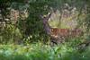 La Belle (Franck Sebert) Tags: brame 2017 cerf elaphe elaphus cervus cervidae cervidés canon nature wildlife wild animal libre affut red deer eos 5d mark iii 400mm f28 l is sauvage animaux mammifère forêt paysage arbre octobre october ef2xii ef14x