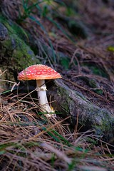 Amanita (HonleyA) Tags: autumnal autumn woods woodland mushroom fungus xpro2 35mmf2 fujinon fujifilm fuji