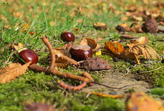Kastanien auf der Wiese (Argentarius85) Tags: nikond5300 nikkor35mm18g kastanien chestnuts herbst autumn background beauty brown chestnut closeup color colorful conker europe fall floor flower food forest fresh fruit ground health isolated leaf natural nature nut organic outdoor park pattern plant red season seasonal seed shape shell sweet texture traditional tree yellow