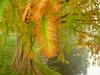 Herbstfärbung Sumpfzypresse (Jörg Paul Kaspari) Tags: trier autumn herbst fall echte sumpfzypresse taxodiumdistichum mattheiserweiher herbstfärbung park