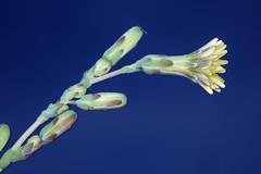 Lactuca serriola forma integrifolia Bogenh. (chug14) Tags: plantae plante flower fleur asterales asteraceae lactucaserriola lactucaserriolaformaintegrifolia unlimitedphotos