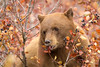 Gentleness (Amy Hudechek Photography) Tags: black bear cinnamon colored wildlife nature berries autumn fall grand teton national park gtnp amyhudechek nikond500 nikon200500f56
