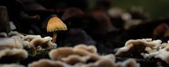 Paddestoelen 2714 (Bram Meijer) Tags: kootwijkerzand kootwijk paddestoel paddestoelen mushrooms champignon pilze herfst herbst autumn automne nederland netherlands natuur nature macro closeup fujifilm fujinon 50140
