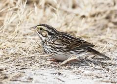 Savannah Sparrow  (c) 2010 Paul Thomas All rights reserved Merritt Island NWR, Florida