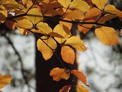 autumn (germancute) Tags: nature landscape landschaft laub leaves voilage blätter wald baum thuringia thüringen tree forest