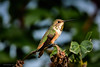 Allen's Hummingbird (halladaybill) Tags: allenshummingbird backyard birds orangecounty california