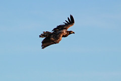 Watching you (Ib Aarmo) Tags: white tailed eagle havørn ørn flying wings sky bird prey outdoor nature