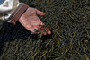 Algas (wolf4max) Tags: nature plant alga algas canada hopewellcape ocean