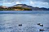 The Bonnie Banks o' Loch Lomond (pallab seth) Tags: luss argyllbute lochlomond scotland lake nature mallard bird