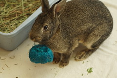 Carrying around a toy. (Tjflex2) Tags: rabbits rabbit rabbitfest bunny bunnies vancouver bc vrra furry fuzzy lapin lagomorpha lagomorph conejo