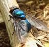 HFDF!!!  Lucilia, creo. female. (bego vega) Tags: greenbottle blow fly mosca lucilia calliphoridae diptera animal insect insecto macro madrid bego vega bv veguita hembra female