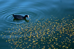 EVERY ACT OF KINDNESS CREATES AN ENDLESS RIPPLE. (GOPAN G. NAIR [ GOPS Photography ]) Tags: gopsorg gops gopsphotography gopangnair gopan photography ripple water wave duck lake india