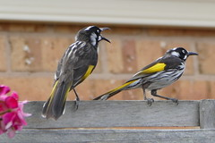 I wasn't bowing to you, I was cleaning my beak... (The Pocket Rocket, On and Off.) Tags: newhollandhoneyeater phylidonyrismeliornisnovaehollandiae mygarden fence oceangrove victoria australia