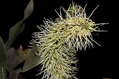 Grevillea glauca (andreas lambrianides) Tags: grevilleaglauca proteaceae bushman'sclothespegs australianflora australiannativeplants grevillea qld