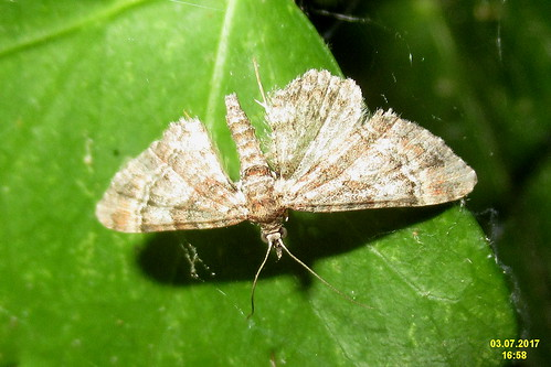 Double-striped pug (RLn)