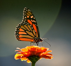 Monarch Alight with the Setting Sun (2) (amiecware) Tags: monarch butterfly zinnia nature