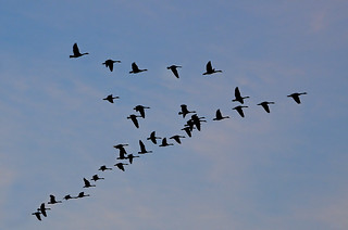 DSC 8598 Canadien geese