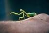 Praying Mantis (Mathijs Buijs) Tags: praying mantis green arm hand wrist south africa paarl stellenbosch western cape town canon eos 400d