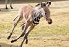 grevy zebra artis BB2A2568 (j.a.kok) Tags: zebra grevyzebra grevy´szebra equusgrevyi equus artis animal zoogdier dier mammal herbivore afrika africa