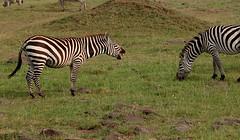 le rire du zebre (Eykat) Tags: kenya safari zebre vautour lion guepard vanneau masaï mara afrique africa vervet singe monkey babouin elephant cheetah crocodile buffle buffalo topi girafe rift gazelle leopard serval secretarybird serpentaire secretaire messagersagitaire gnou rollier mangouste elanion chacal agape eland picboeuf otocyon ombrette baboon heron melanocephale hyene hiena phacochere hippopotame jabiru ibis goliath grue aigrette genette francolin guepier beeeater dikdik cobe chauvesouris batbulbul calao bubale bucorve autruche alouette aigle eagle outarde sentinelle tantale tisserin