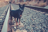 Never look back, past doesn't come back (crisgarr) Tags: dog cane chien pinscher miniaturepinscher pinscherminiatura minipin portrait film railway road track railroadtrack hund paws lookback django